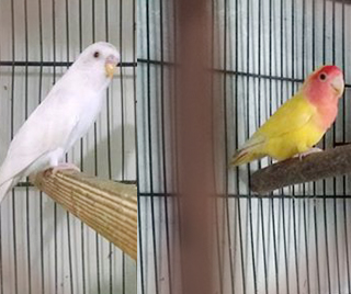 Can budgies and love birds stay together - Birds & Cats