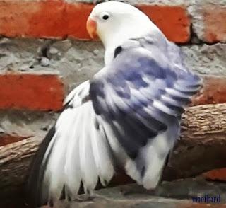 tips cara mengatasi lovebird yang over birahi dengan mudah