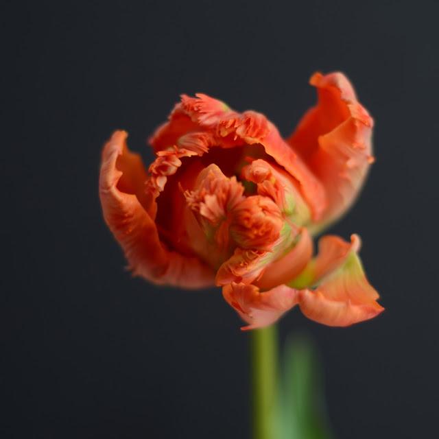 bursztynowa róża, z kim się spotyka