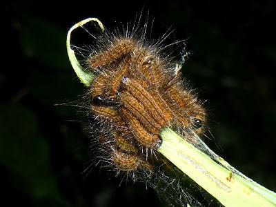 Phiala species Malawi