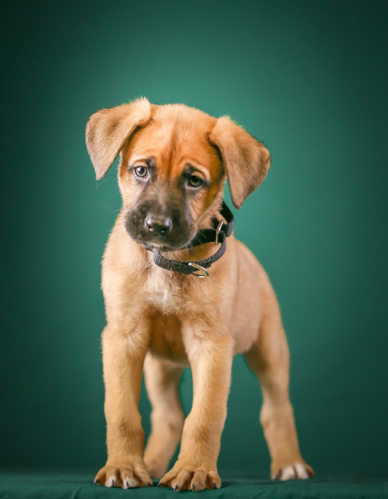 Boxer shepherd puppy with a black collar and a teal background.