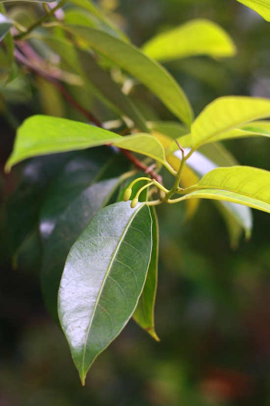 early stages of nutmeg flower
