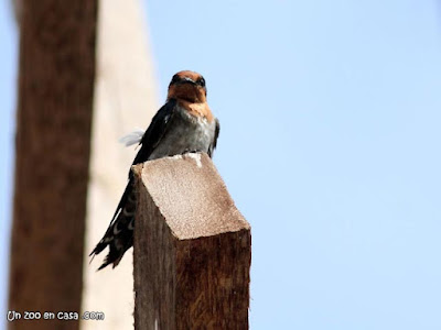 Hirundo tahitica - Pacific Swallow