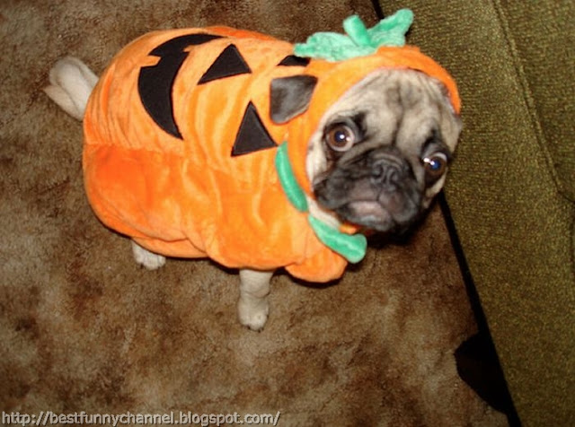 Funny dog dressed as a pumpkin.