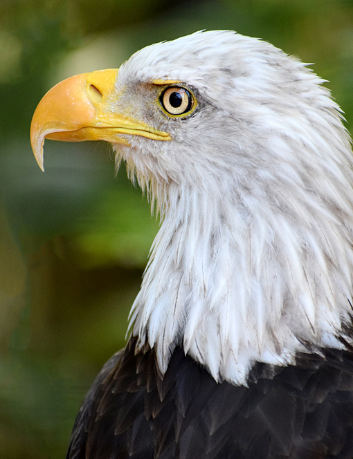 Bald Eagle | Zoo Atlanta | Photo: Travis S. Taylor