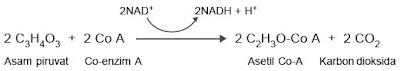 reaksi pembentukan asetil Co-A
