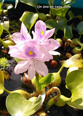 Jacinto de agua (Eichhornia crassipes)