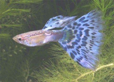 Gambar Ikan Guppy Mosaic- Blue Mosaic
