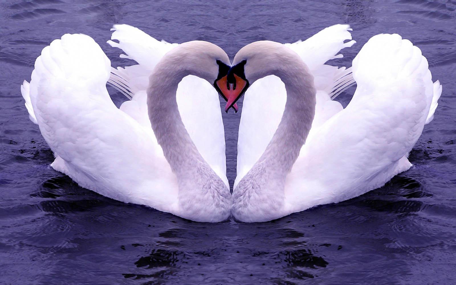 Love Wallpaper Gambar Burung Burung Yang Berpasangan