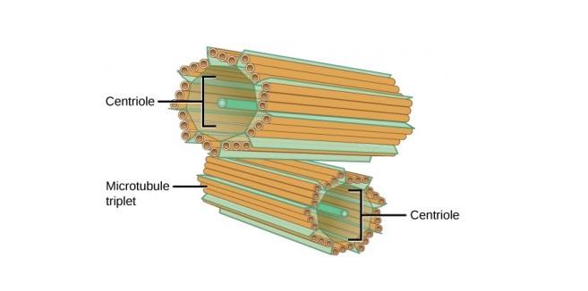 struktur sentriol, fungsi sentriol, definisi sentriol, peran sentriol,
