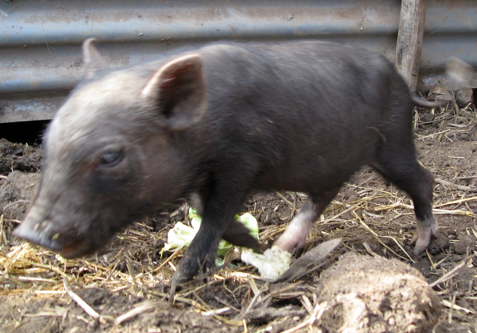 Little Pet Pigs: Black micro piglets
