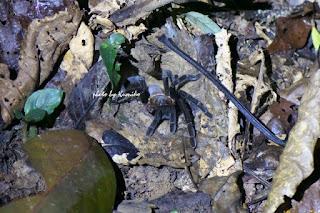 tarantula タランチュラ