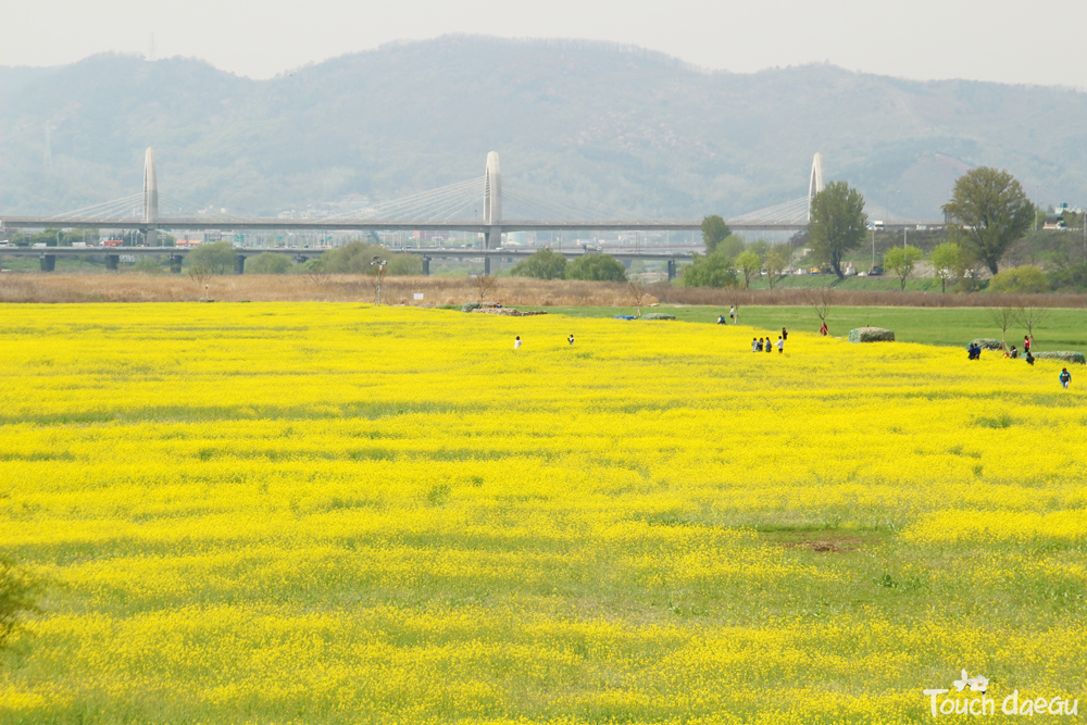 Touch daegu the prettiest flower field in korea hajungdo island the striking colors of yuchae flowers is what you deserve in daegu during the spring hajungdo island located in geumho river is filled with yellow yuchae mightylinksfo