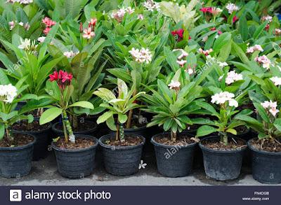 Jasa tukang taman surabaya Mengenal Kamboja Plumeria