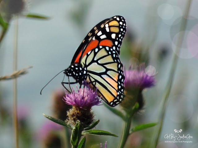 Newfoundland Monarch Butterfly