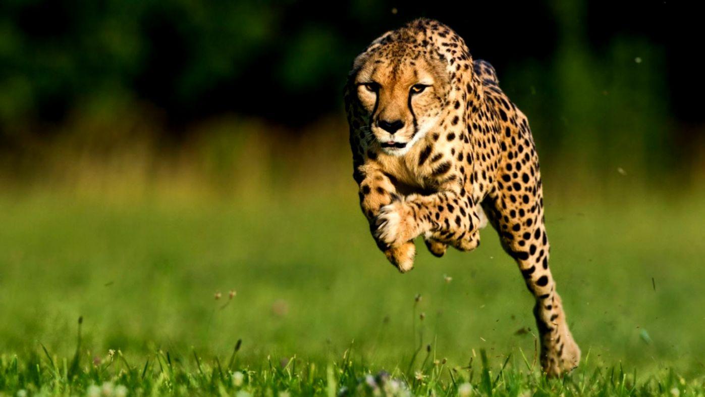 Running Cheetah Hd Animals Wallpaper Wallpapers Master