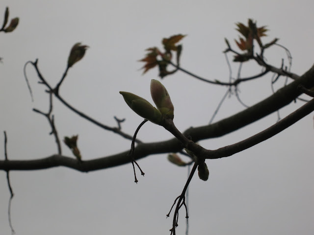 Silhouette of a sycamore bud with a little bit of colour showing.