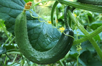 usaha tanaman, tanaman yang menguntungkan, tanaman yang mudah ditanam, tanaman yang cepat berhasil, bisnis tanaman, buah mentimun, sayur mentimun, mentimun, timun