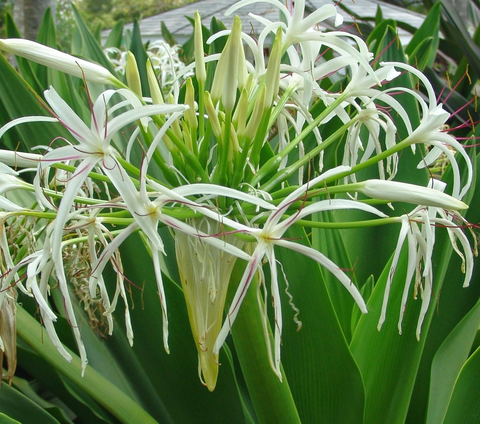 Tanaman Herbal Manfaat Dan Khasiat Bunga Bakung Crynum Asiaticum L