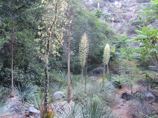 Yucca on Fish Canyon Trail, Angeles National Forest