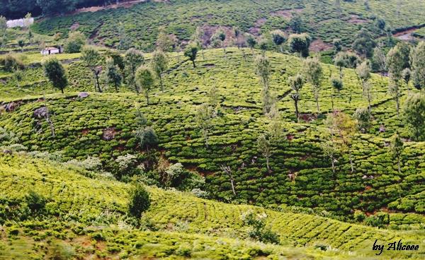 Coonoor-Plantatii-de-ceai-Sudul-Indiei