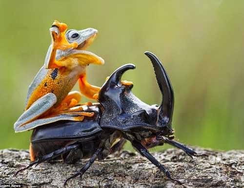 Gambar Lucu Katak Menunggangi Kumbang