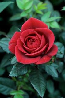 gambar bunga mawar indah 2