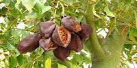 где растёт какао