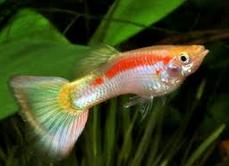 Budidaya Ikan Guppy, Mudah Dan Siapapun Anda Bisa Berhasil
