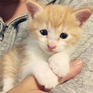 茶白 仔猫