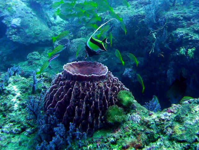 moorish idol, barrel sponge, andaman sea, india, havelock