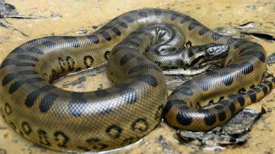 Anaconda Hijau (Green Anaconda Snake)