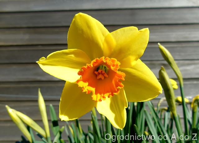 Narcissus 'Red Devon'