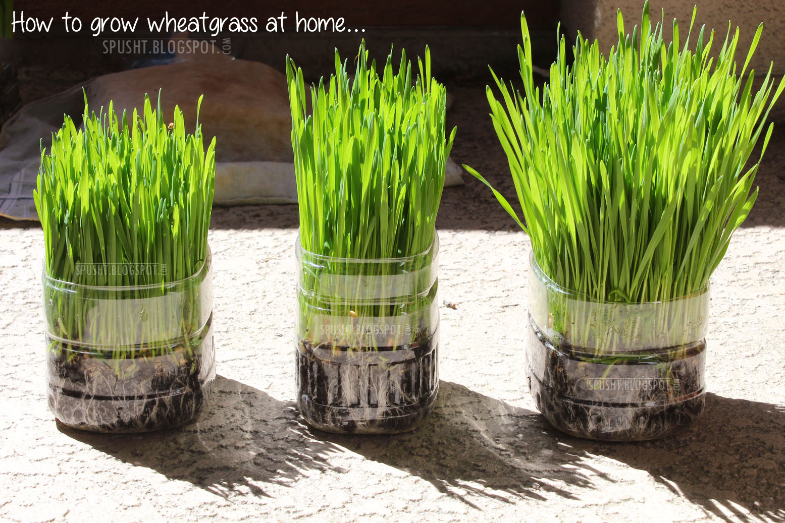 How To Grow Wheat Gr At Home