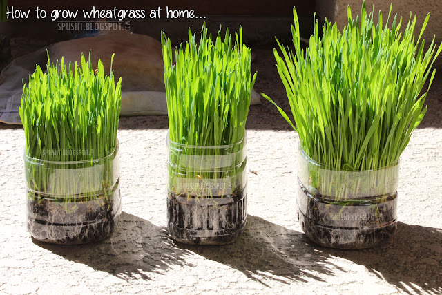Spusht Faq  Growing Wheatgrass And Making Wheatgrass Juice At Home-9578