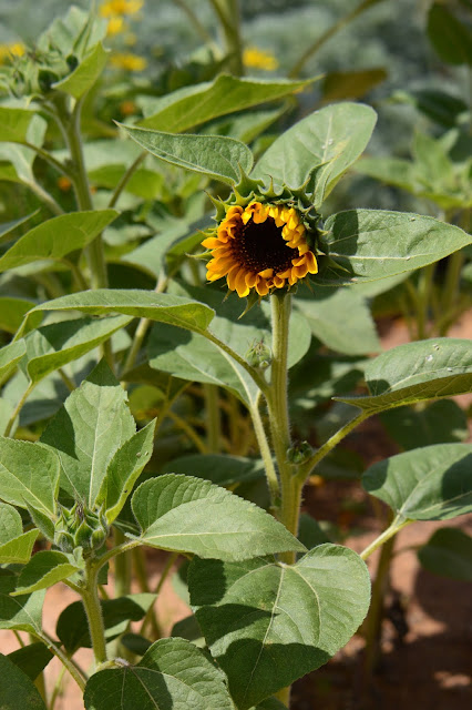 bee, sunflower, amy myers, photography, small sunny garden, desert garden, cutting gold