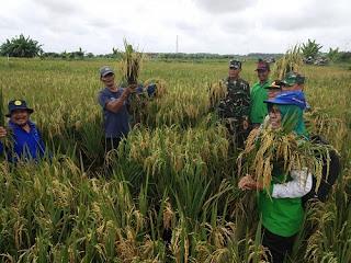 KORAMIL 402-01/Tanjung Lubuk Melaksanakan Panen Padi Perdana di Desa Mulyaguna