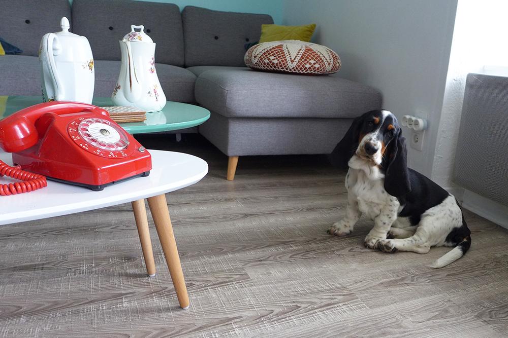 Nookie le basset hound, future mannequin