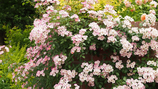 Continuous flowering roses Ballerina