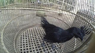 Ayam Cemani Rajeg Wesi