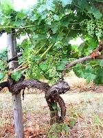 Üzüm ağacı ve gövdesi