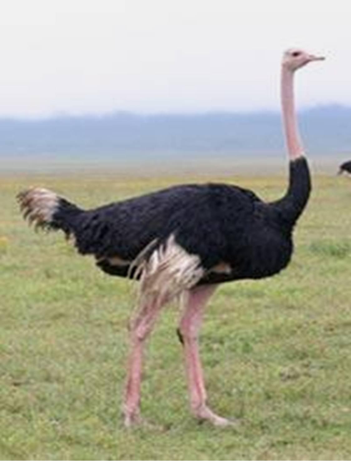 Gambar Burung Unta Hd