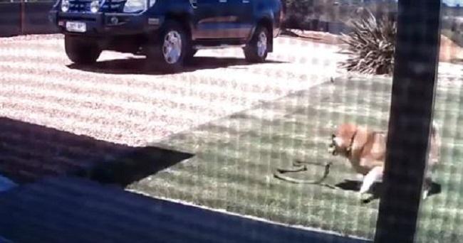 Ένα μικρό σκυλί επιτίθεται σε ένα φίδι και κερδίζει τη μάχη (VID)