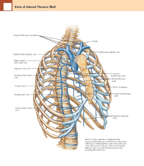 Veins of Internal Thoracic Wall Anatomy  Right brachiocephalic vein, Superior thoracic aperture 1st rib, Left brachiocephalic vein, Accessory hemiazygos vein, Internal thoracic veins, Body of sternum Anterior perforating veins, Superior epigastric veins, Inferior to the respiratory diaphragm, the azygos and hemiazygos veins have connections with the ascending lumbar and/or the subcostal veins. The azygos vein may also arise from the inferior vena cava and the hemiazygos vein from the left renal vein. Right superior intercostal vein, Superior vena cava, Posterior intercostal vein, Azygos vein, Hemiazygos vein, Anterior intercostal vein.