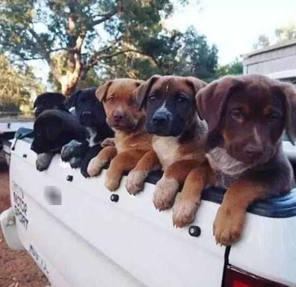 Những chiếc xe chở đầy cún con