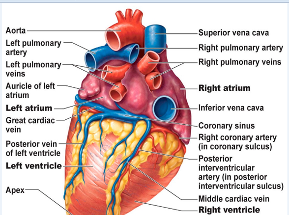 Crimes of the heart: a case study of cardiac anatomy