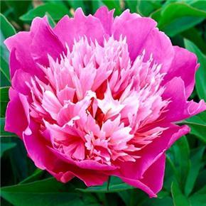 Planter des pivoines pour colorer son jardin - Les Carnets ...