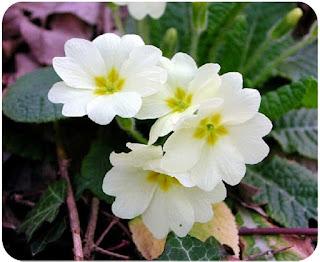 Цветок Дианы - примула
