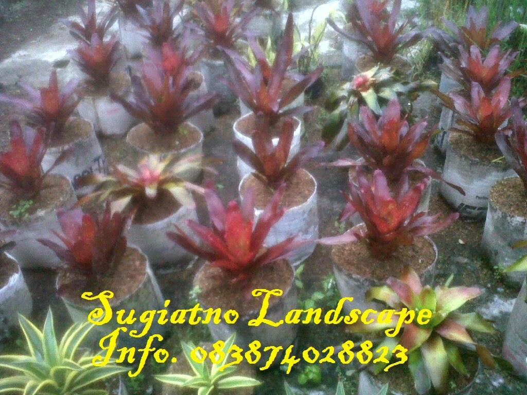 Bromelia-merah-hati-murah