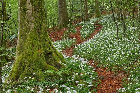 Naturwald Sihlwald (ZH) - 14.05.2018 Einmal im Jahr haben alle Pflanzen die Chance zum Gedeihen
